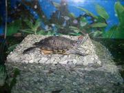 Красноухая черепаха и красивый бережок ручной работы!!!